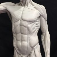 Sculpting the Human Torso